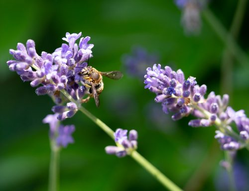 USM será la primera universidad certificada como amigable para las abejas